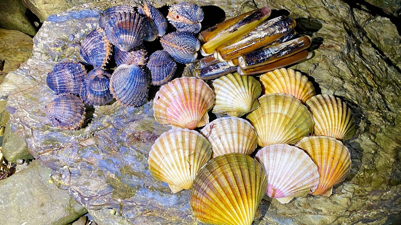 Coastal Foraging - Scallops, Clams and Cockles - Amazing Shellfish Cookup