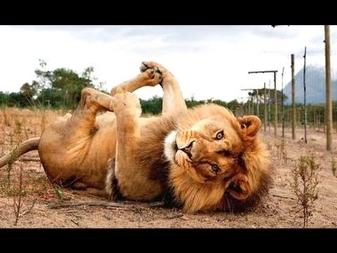 Funny animals un dr le vid os d 39 animaux 2016 youtube - Videos droles d animaux ...