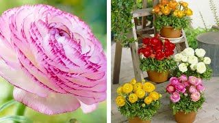 How to Plant Ranunculus: Summer Garden Guide