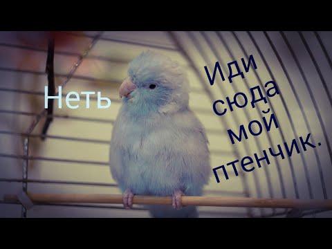 Приручаем воробьиного попугая. forpus coelestis