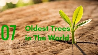 7 Oldest Still Living Trees in The World