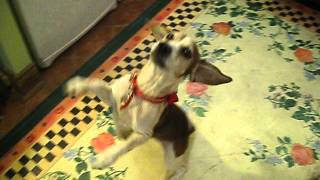Big On Beagles Rescue Presents Rainbow The Begging Ballerina!