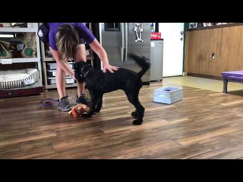 Malvina the Standard Schnauzer | Service Dog Training