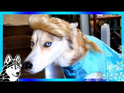 FROZEN SHELBY THE HUSKY | Dogs in Halloween 2016 Costumes