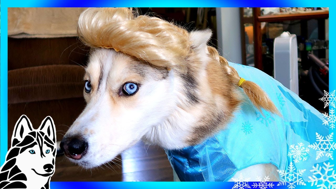 FROZEN SHELBY THE HUSKY | Dogs in Halloween 2016 Costumes ...