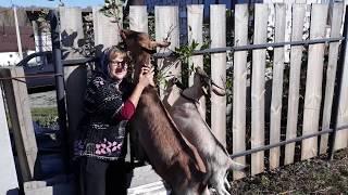 Мои прекрасные козы!!! МАСЯ и НЮША!!!