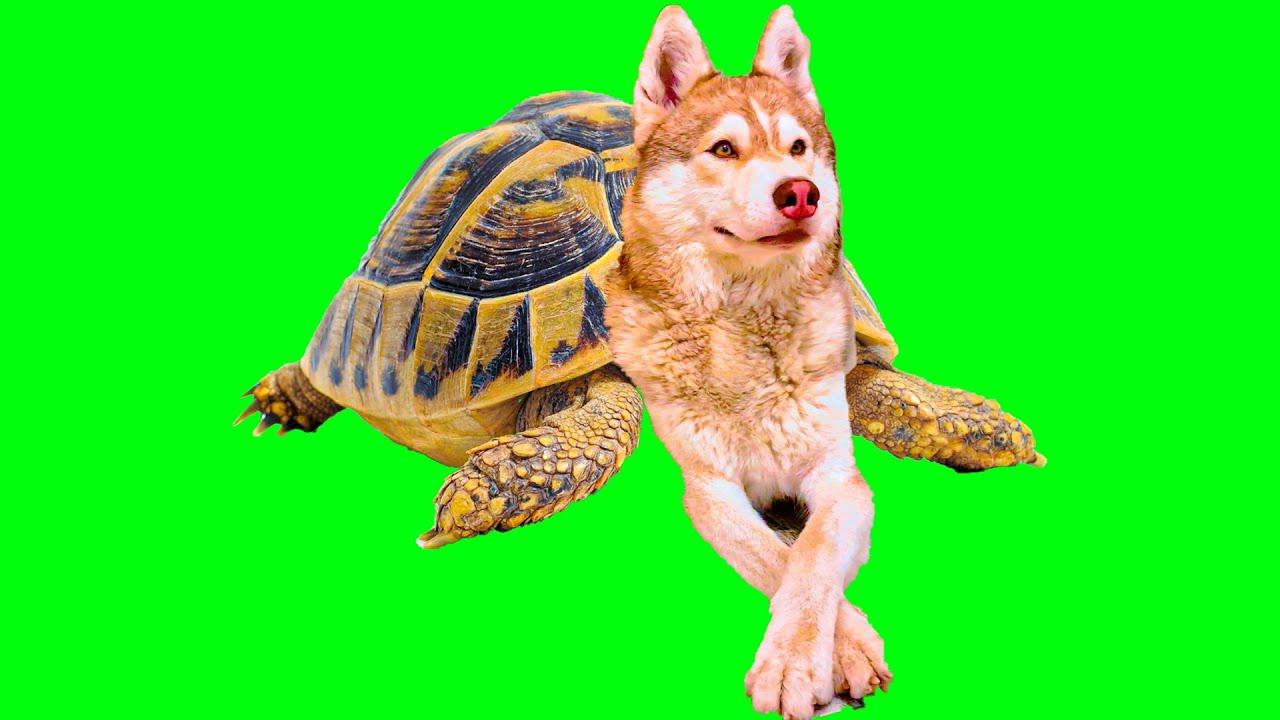 ПЕРВЫЙ В МИРЕ ХАСКИ - ЧЕРЕПАХА!! (Хаски Бублик) Говорящая собака Mister Booble