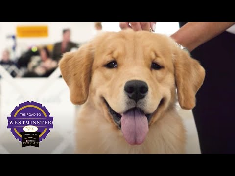 Road to Westminster (RTW): Best of Breed Minute Golden Retriever
