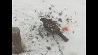 Как приучить ХИЩНЫХ птиц есть суточных цыплят:) Сова, Ястреб, Сокол:)