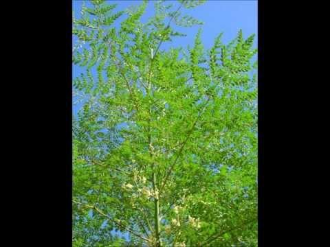 SOHANJNA AMAZING MIRACLE TREE DR.ASHRAF SAHIBZADA  .wmv