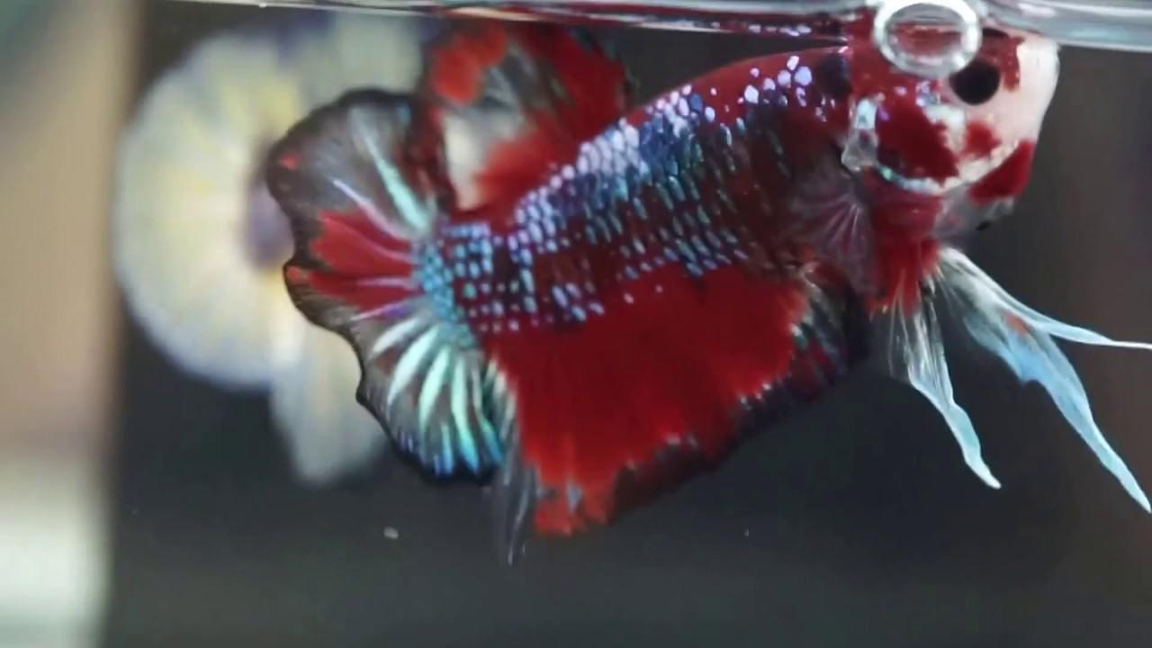 Fancy MULTI COLORS KOI GALAXY Halfmoon Plakat HMPK Betta #A02 - YouTube