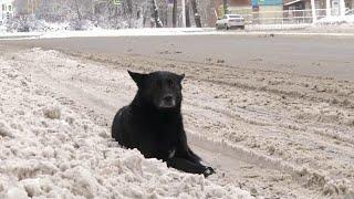 В Бурятии расследуют ряд уголовных дел после серии нападений бездомных собак на людей.