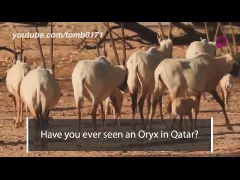The Oryx - Qatar's National Animal!