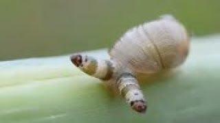 吃蜗牛占大脑,吸引鸟类吃掉它再排出来的超强寄生虫 双盘吸虫
