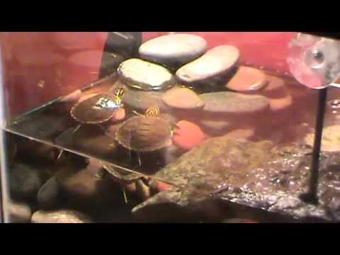 Raising Baby Turtles and What you need. Best video - YouTube