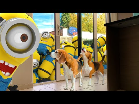 Dog Pranked by MINION DAVE & STUART | Funny Beagle Dog Louie Trend Videos