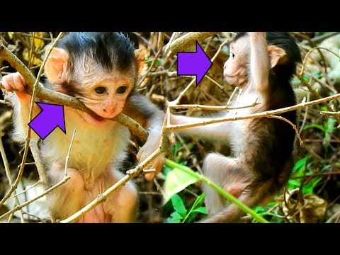 Ouch!! Baby Justino Fall Down From The Branch Of Died Tree  Look Justino Work Hard with it