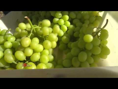 Table Grape Harvest in the Coachella Valley