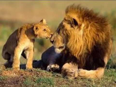 Lion Vs Elephant Fight To Death  Must Watch