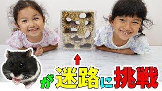 ひまわりちゃん野生に帰る?ハムスター迷路に挑戦!!himawari-CH thumbnail