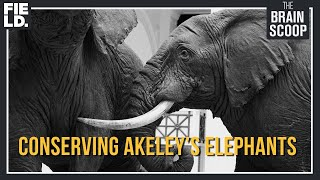 The 'Sistine Chapel of Taxidermy' - Conserving Akeley's Elephants