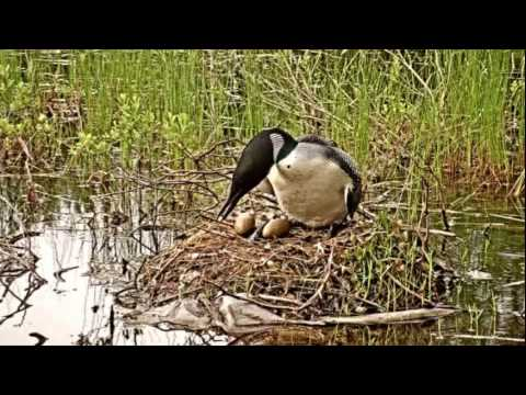 Loons And Turtles And Cranes Oh My >> Nesting Loon Swim Call Youtube