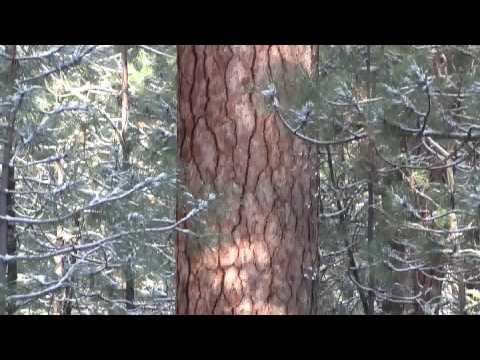 Pacific Ponderosa Pine. Желтая сосна, Орегон, США (polozov 209)
