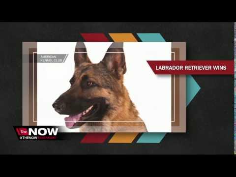 AKC Names Top Dog Breeds