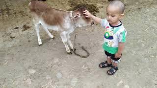 cow Love, child, baby #hoshiarpur #punjab #kids