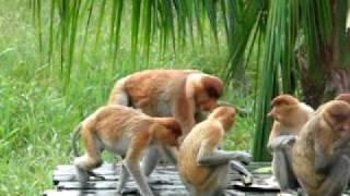 Proboscis Monkeys Having Sex