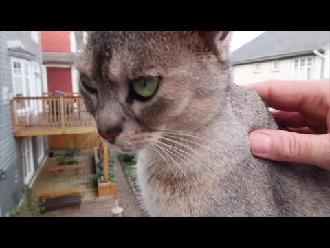 Abyssinian cats don't like dogs | CUTE CAT CLEO