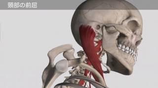 椎前筋による頸部の前屈作用 (音声無し)