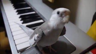 Поющий попугай. Песня из Тоторо.