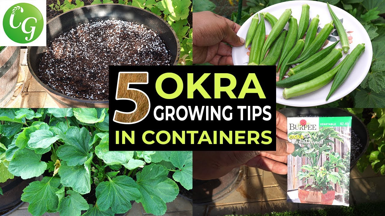 Top 5 Okra Growing Tips -  How to grow okra in containers and get LOTS of Okra - Baby Bubba Okra