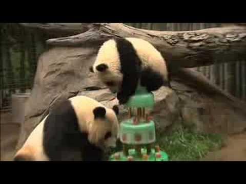Two Big Birthdays for Giant Pandas at the San Diego Zoo