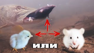 Рыбалка ШОК Реакция Щуки на Мышь Крысу Цыплёнка Атаки ЩУК Подводная съёмка