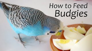 How to Feed Budgies | Choosing the Right Foods - ReEdit