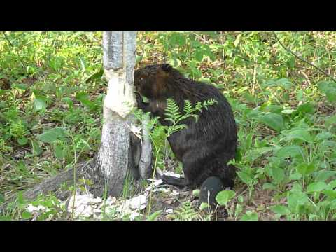Beaver cutting down a tree in West Nipissing, Ontario, Canada