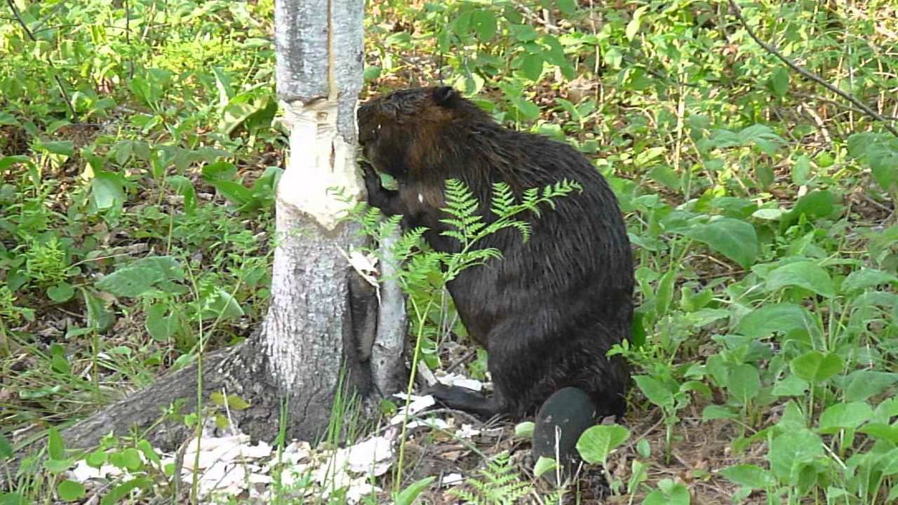 Beaver cutting down a tree in West Nipissing, Ontario ...