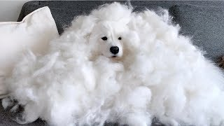 This is how much my samoyed shed in 3 days!!