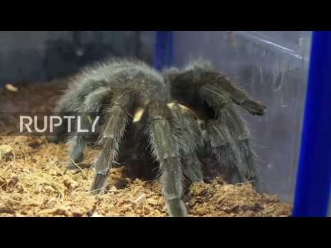 Indonesia: Forget cats... this lady has 1500 pet tarantulas