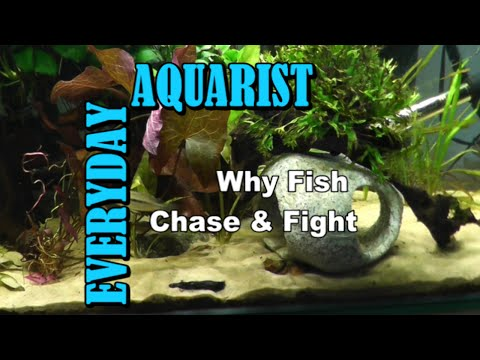 Why Fish Chase & Fight Each Other (Molly Guppy Cichlid)