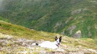 Mcnab Dog In Alaska