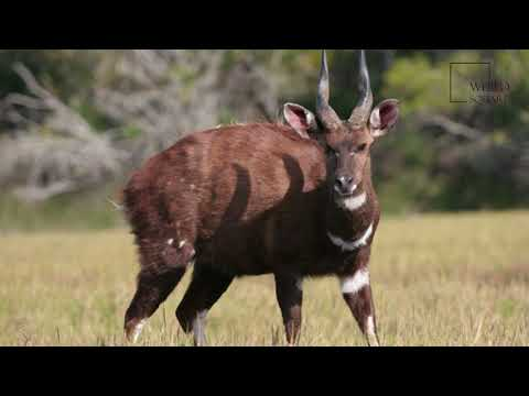 Interesting facts about Bushbuck by weird square