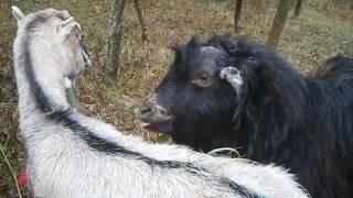 Брачный сезон у коз   или  Коза на курорте
