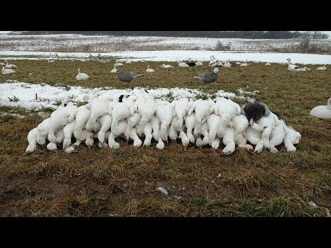 Guided New York Snow Goose Hunts- Fourth Generation Outfitters