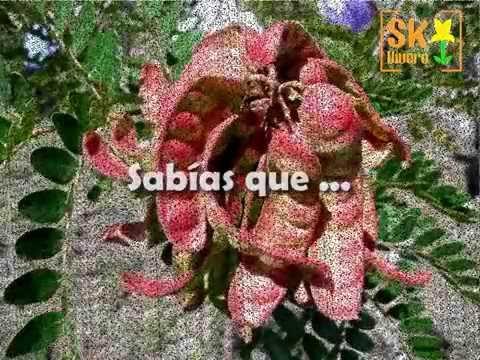 Cultivo in vitro de tara caesalpinia spinosa v deo - Caesalpinia gilliesii cultivo ...