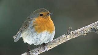 Planet Wissen - Heimische Vögel In Gefahr