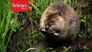 Beaver dams without beavers? Artificial logjams are a popular but controversial restoration tool