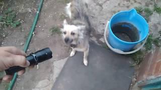 Собака боится электрошокера. Но не сильно.